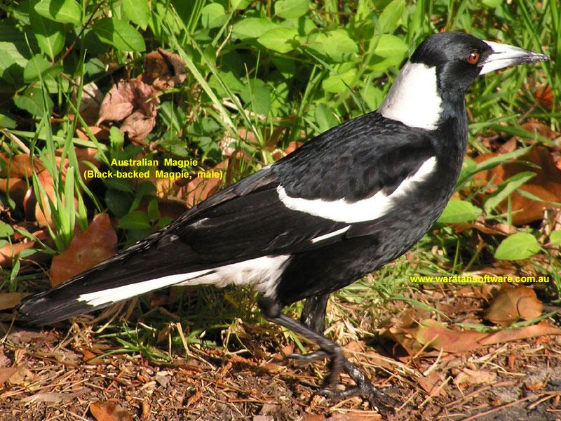 http://www.waratahsoftware.com.au/images/birds/fi_aust_magpie_p9230004.jpg