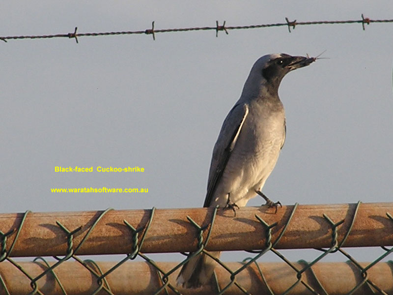 Black-faced Cuckoo-shrike pa170037 image