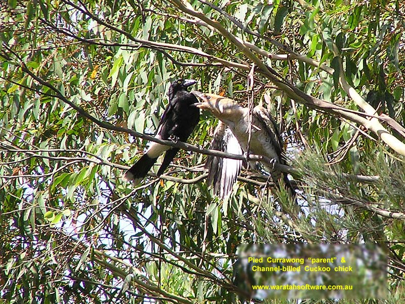 Pied Currawong parent with Channel-billed Cuckoo chick p1010035 image