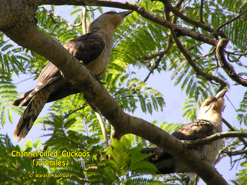 Channel-billed Cuckoos p1100008 image