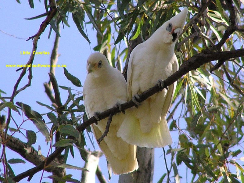 Little Corella p8210069 image