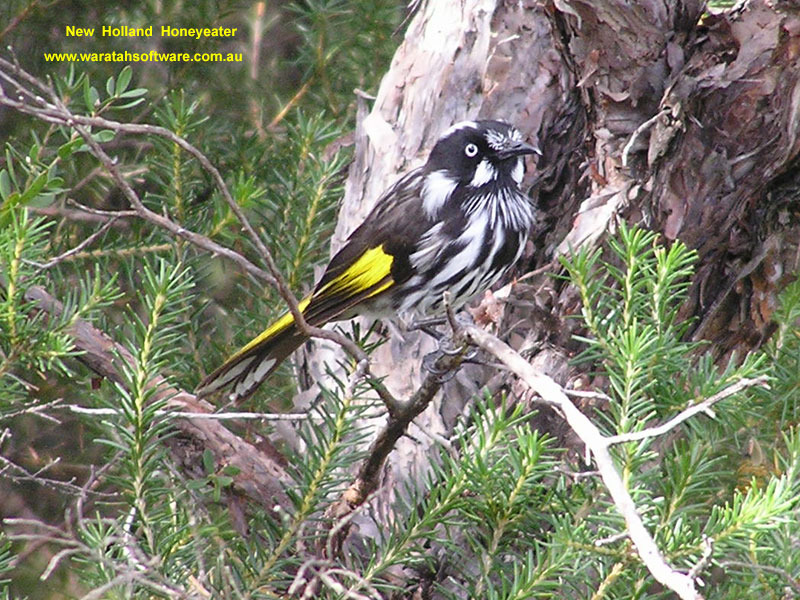 New Holland Honeyeater p9100261 image