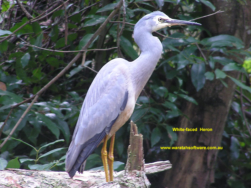White-faced Heron p5200501 image
