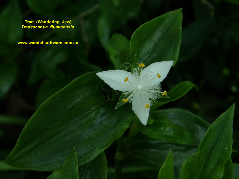 How to Take Care of a Wandering Jew Plant 12 Steps