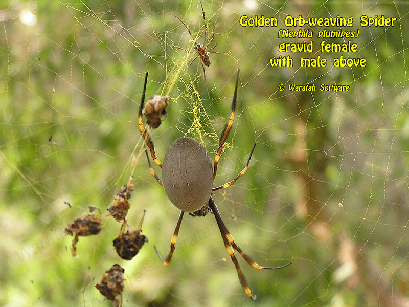 Golden Orb-weaving Spider p3250047 image