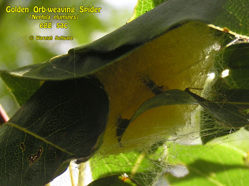 Golden Orb-weaving Spider p3270142 image