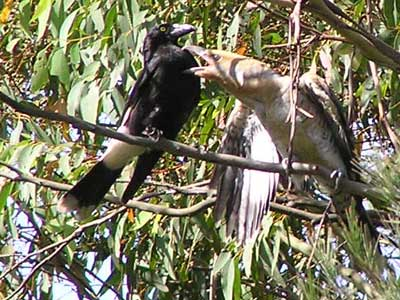 Pied Currawong parent with Channel-billed Cuckoo chick image - p1010035 199KB