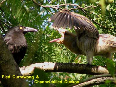 Pied Currawong parent with Channel-billed Cuckoo chick image - p1100074 174KB