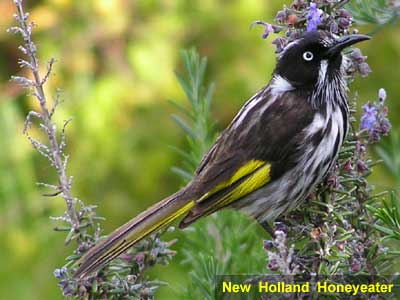 New Holland Honeyeater image 123KB (Margaret River, WA)