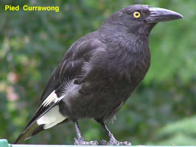 Pied Currawong image - pc300041 75KB