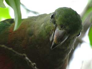 female or juvenile Australian King-Parrot/
