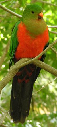 the Australian King-Parrot