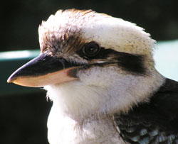 Laughing Kookaburra (Cheltenham, NSW)