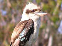 The Laughing Kookaburra web-page