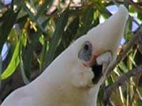 Little Corella image p8210069 140KB