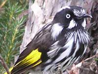 New Holland Honeyeater image p9100261 182KB