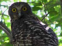 Powerful Owl image pa150444 123KB