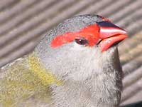 Red-browed Finch image p3250074 135KB