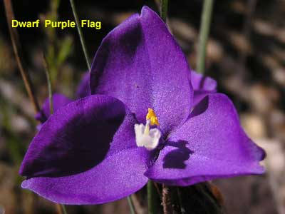 Dwarf Purple Flag image pc040504 102KB
