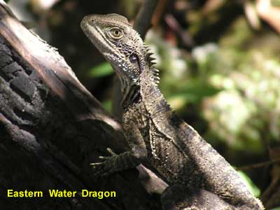 Eastern Water Dragon image 106KB