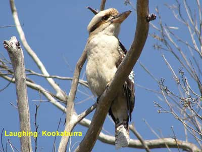 Laughing Kookaburra image 111KB