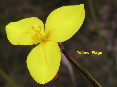 Yellow Flags image pa280410 56KB