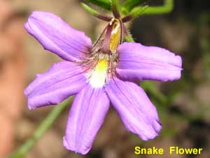 Snake Flower pc180454 image 80KB