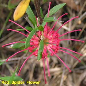 Red Spider Flower image p9140185 101KB