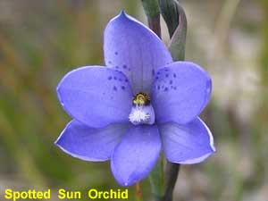 Spotted Sun Orchid