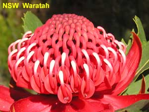 the NSW Waratah image pa100124