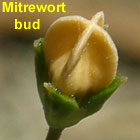 Varied Mitrewort flower bud