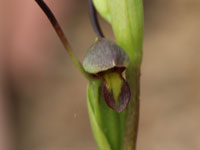 Bird's-mouth Orchid