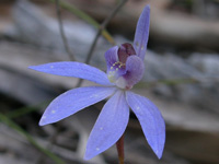 Eastern Tiny Blue China Orchid