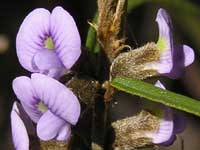 Common Hovea