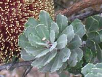 Cut-leaf Banksia leaf