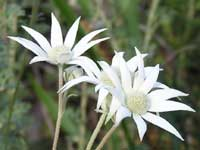 Sydney Flannel Flower