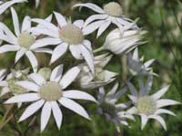 Sydney Flannel Flower pa230168 108KB