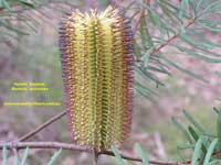 the Hairpin Banksia p4020200 image