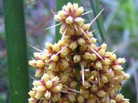 Spiny-headed Mat Rush image pa020003 129KB