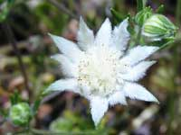 Pink Flannel Flower