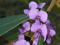 Pointed Leaf Hovea