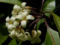 Sweet Pittosporum image pa170019