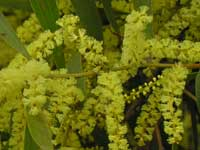 Sydney Golden Wattle image p9010436