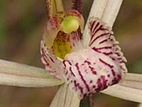Western Wispy Spider Orchid pa220205 84KB