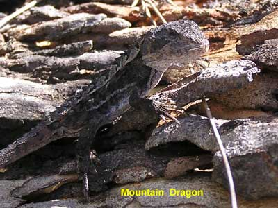 Mountain Dragon image p2280033 173KB