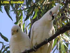 Little Corellas image p8210069 140KB