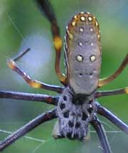 Golden Orb-weaving Spider