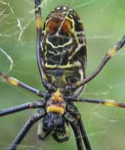 Golden Orb-weaving Spider image p2100115 75KB