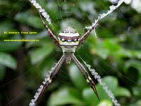St Andrew's Cross Spider image pc280139 110KB